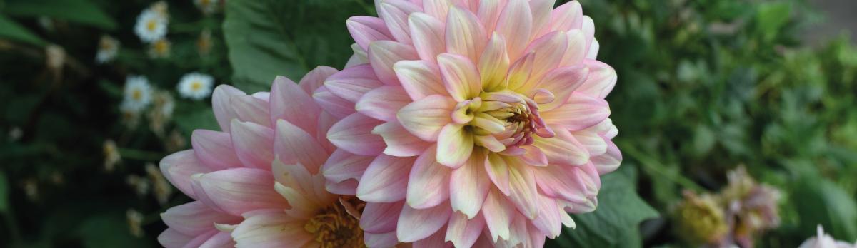 Flor de chikung